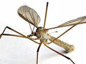 Extreme macro of a crane fly (of the family Tipulidae) standing on a white background poster