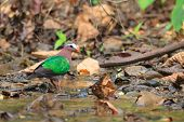 A close up of an Emerald Dove walking alone in the stream in Thailand poster