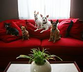 a group of chihuahua dogs sitting on a couch in a living room poster