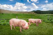 Cute pigs grazing at summer meadow at mountains pasturage under blue sky. Organic agriculture natural background poster