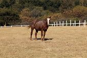 Portrait Picture of Large Strong Brown Colt Horse poster