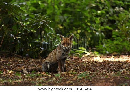 Full body shot of a red fox with a natural looking background. This is a wild urban fox sitting in the shade underneath some trees. poster
