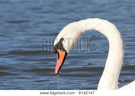 Drooling Swan