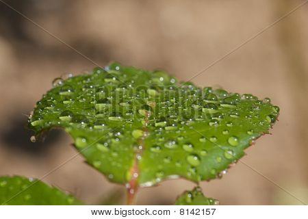 Rose leaf after rain