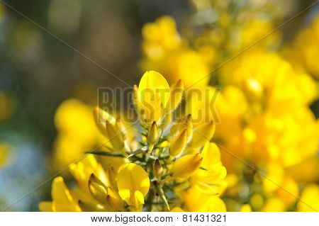 Common Gorse Yellow Flowers
