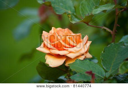 Orange Rose, Sort The Cheshire Regiment
