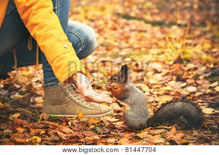 Squirrel eating nuts from woman hand and autumn leaves on background wild nature
