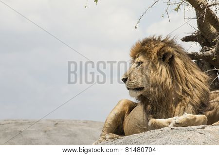 Male Lion Sitting On A Rock Facing Sideways