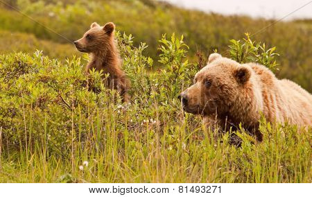 Grizzly Bear And Its Cub Looking Sideways