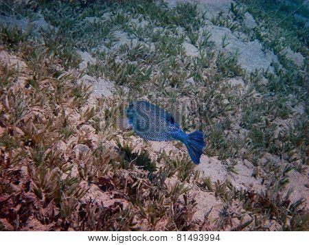 blue boxfish swims