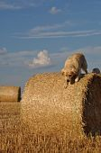 Beautiful Golden Retriever playing around a straw roll at a perfect sunny afternoon poster