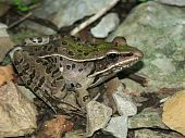 Southern Leopard Frog (Rana sphenocephala) in the Shawnee Hills of southern Illinois. poster