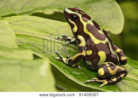 golden poison dart frog, dendrobates auratus from the central american rainforest of Panama