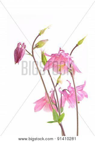 Pink Biedermeier Columbine Flowers