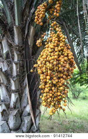 Butia Palm, Uruguay