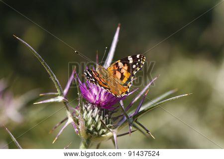Monarch butterfly.