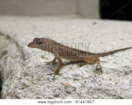 Brown Anole In Florida
