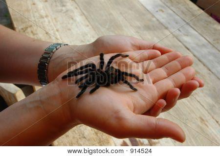 Bird Spider Dare Devil