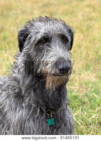 Detail Of Old Irish Wolfhound Dog
