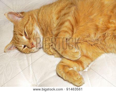 Sleepy Orange Cat