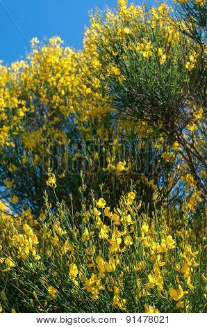 A typical broom plant of Mount Etna in bloom poster