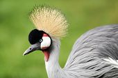 a colourful image of the head display of the grey crowned crane poster