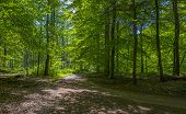 Footpath through a forest in sunlight in spring poster