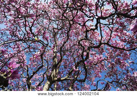 Flowered magnolia in Biassono (Monza Brianza Lombardy Italy) at early spring