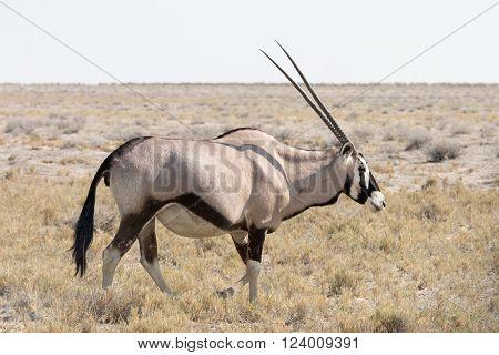 Gemsbok, Oryx
