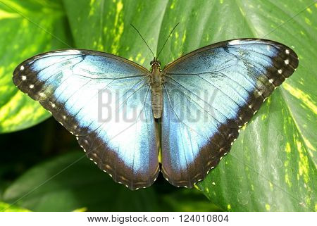 Blue Morpho Butterfly on a leaf (Morpho peleides)
