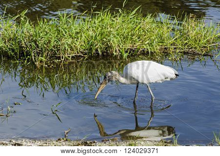 Wood Stork hunting in shallows catches small fish
