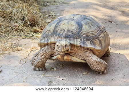Black giant turtle slow walking and yellow dried hay background.