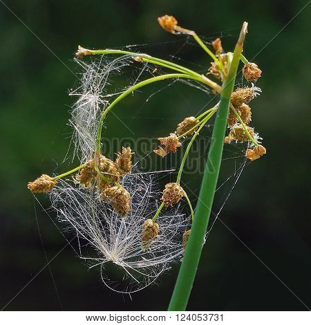 Bulrush with wildflower seedling fuzz tangled among her seeds. ** Note: Visible grain at 100%, best at smaller sizes