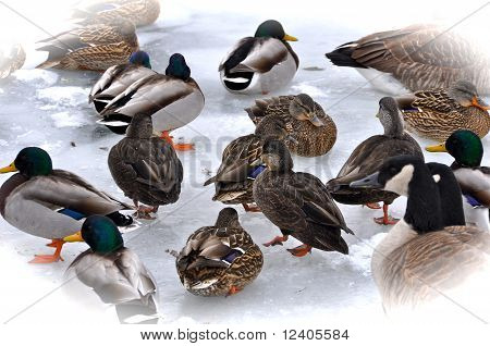 Ducks & Canadian Geese