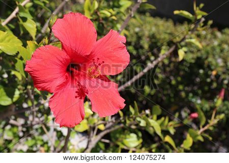 Hibiscus Plant with Red Flower Gardening and Landscaping