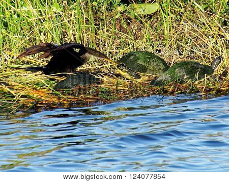 Anhinga disturbing group of Cooter Turtles in Florida Wetlands poking at a turtle with its beak