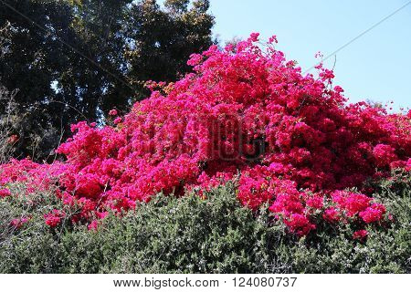 Springtime Bougainvillea Plants With Red Flowers Gardening and Landscaping