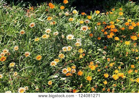 Yellow and Gold Spring Flowers Daisies Gardening and Landscaping