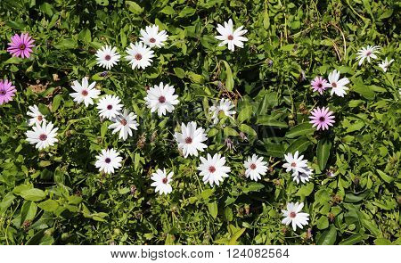 Beautiful White and Purple Daisies.  Spring Flowers for Gardening and Landscaping.