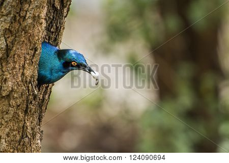 Specie Lamprotornis australis family of Sturnidae, Burchell glossy starling nesting in Kruger park