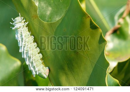 Big green worm. Giant green worm. Worm the caterpillars eating green leaves. Atlas Moth (Attacus atlas) Caterpillar. Last stage of largest worm caterpillar attacus atlas moth.