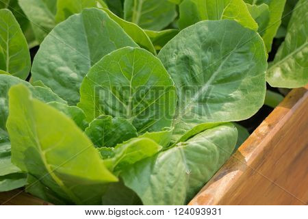 Organic vegetable growing in wooden box, stock photo