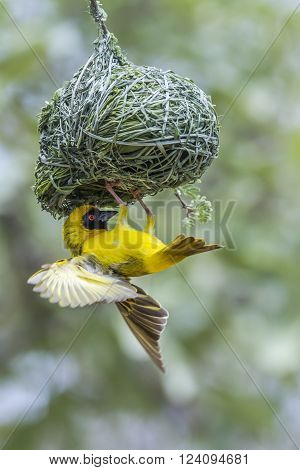 Specie Ploceus velatus family of Ploceidae, southern masked weaver nesting in Kruger Park ** Note: Soft Focus at 100%, best at smaller sizes