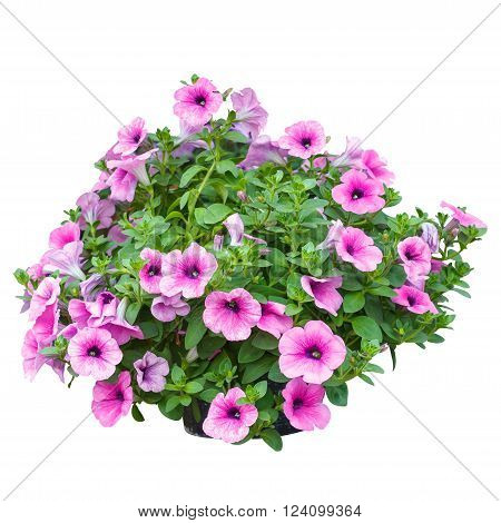 Pink petunia flowers isolated on white background. Closeup flowers texture or flowers background for design.