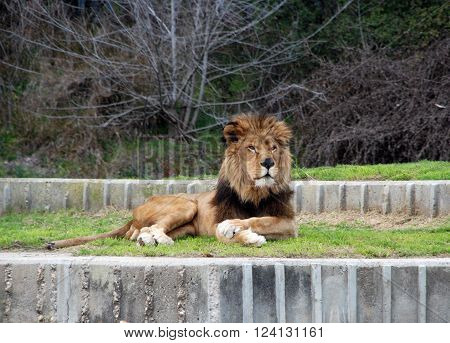 Lion Sitting at home at the zoo in Madrid.