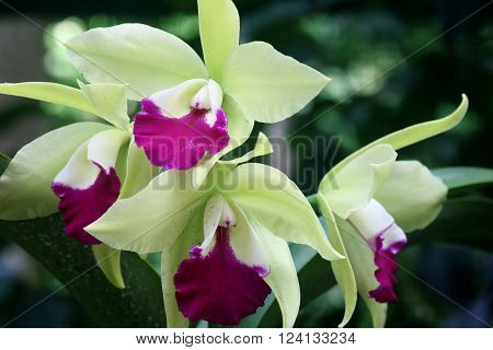 Pink and green colored orchid in full bloom