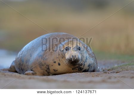Grey Seal lying on ground looking at camera