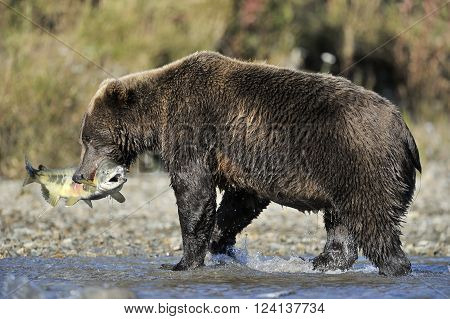 Grizzly bear with just caught fish in mouth