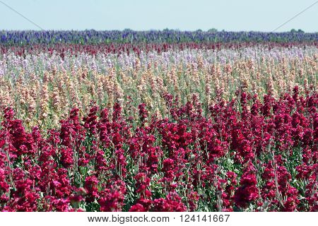 Field of stock flowers growing in the Imperial Valley of California.