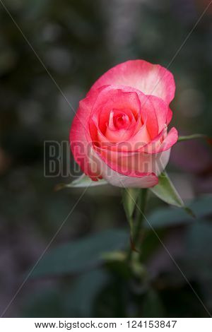 Jumilia Rose in dark background Closeup, Two tone Rose ** Note: Visible grain at 100%, best at smaller sizes